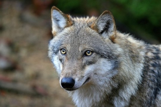 Jungwolf (c) Bajohr